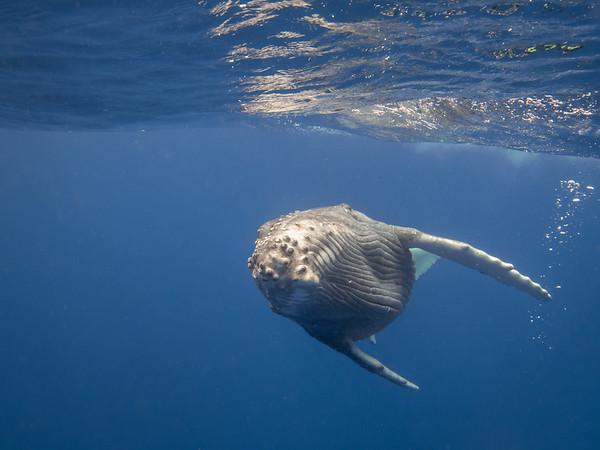 Tonga Humpbacks