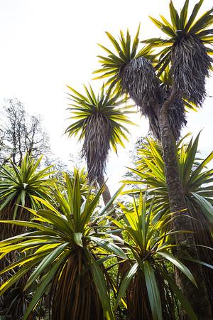 Mountain Cabbage Tree/Cordyline indivisa. Tongariro National Park