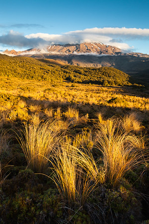 Snow tussock in Whakapapaiti Valley on slopes of Mount Ruapehu, Tongariro National Park, Central North Island
