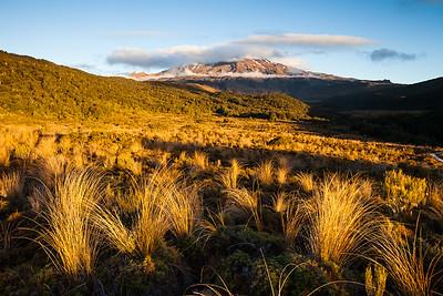 Snow tussock in Whakapapaiti Valley on slopes of Mount Ruapehu, Tongariro National Park, Central North Island