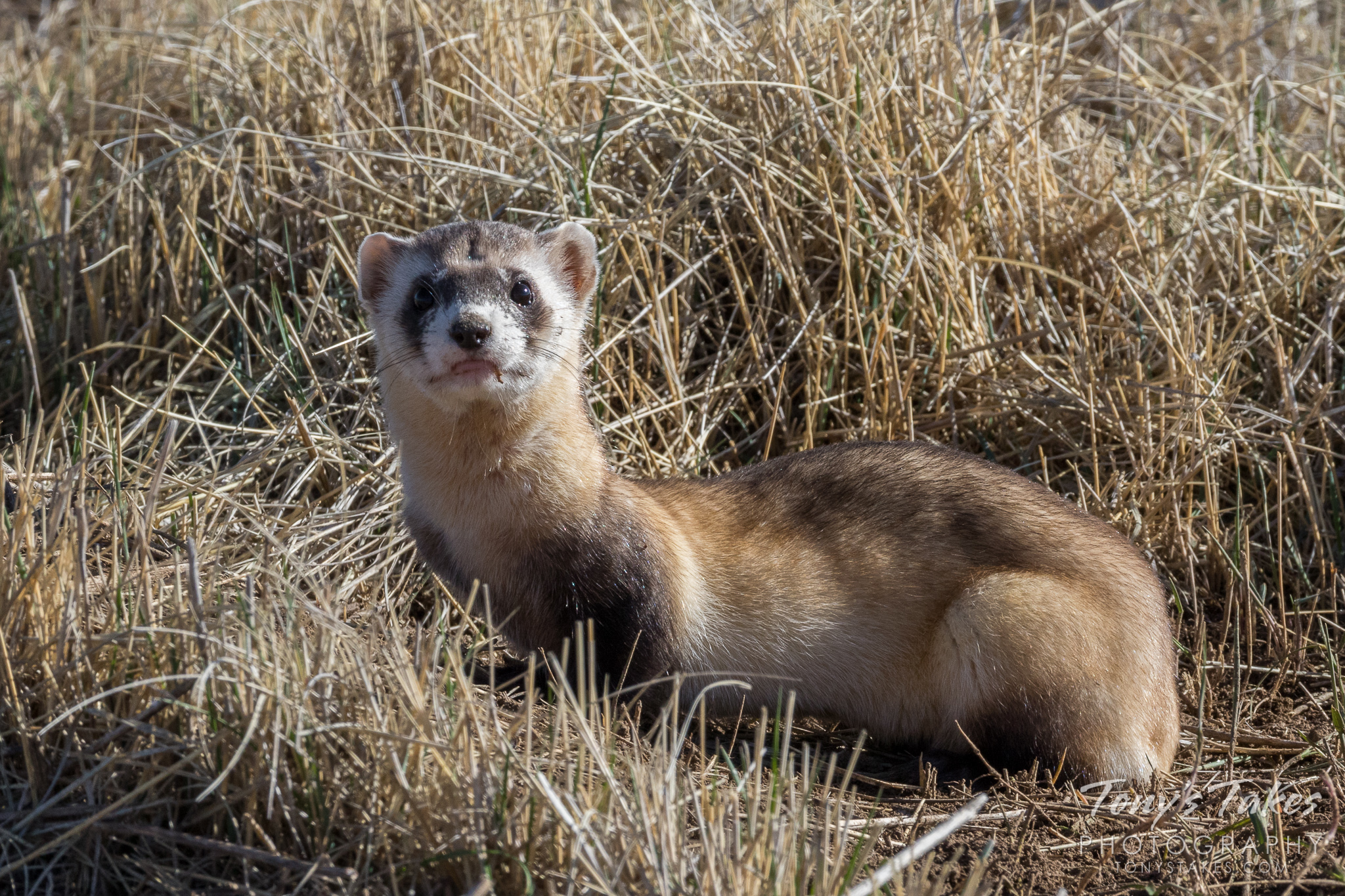 Posing endangered Black-footed Ferret