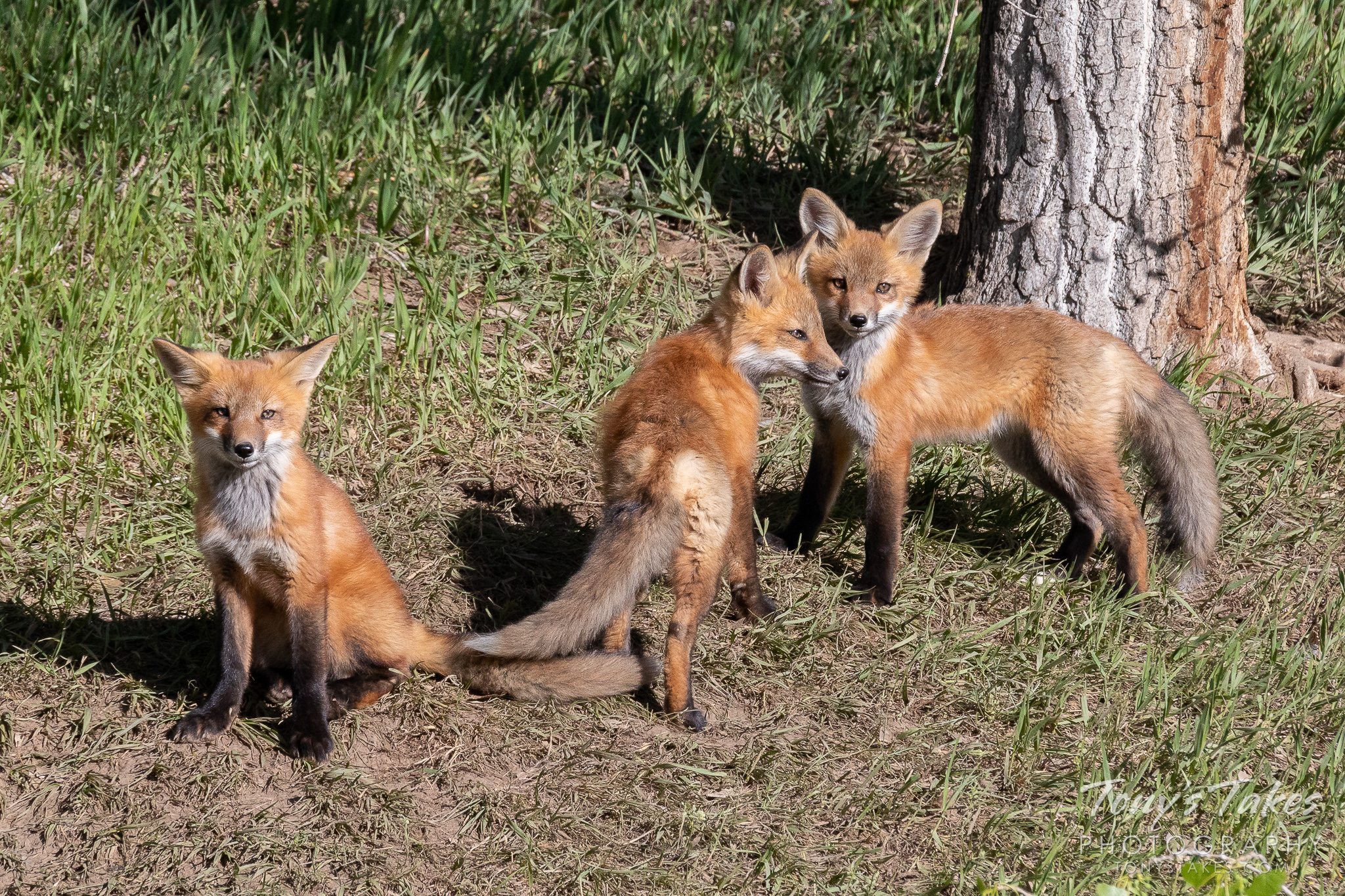 Fox kit triplets pose for pictures