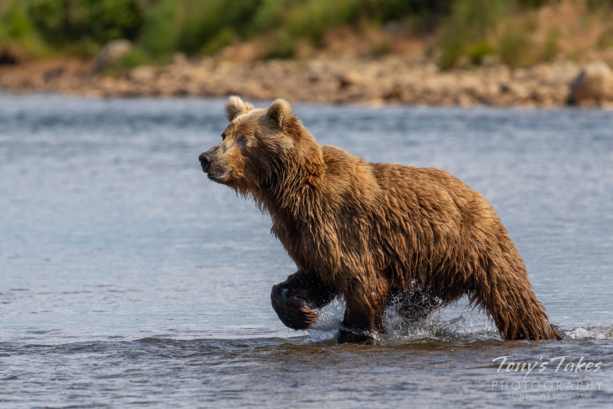 Brown bear points the way to the salmon