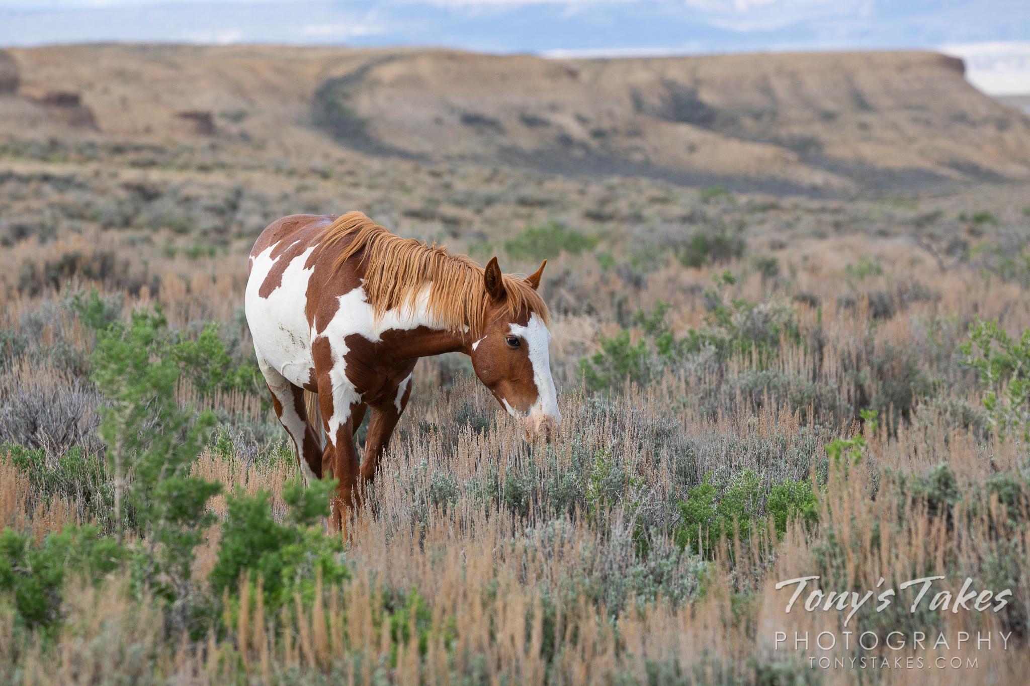 Wild horse grazes in the high desert