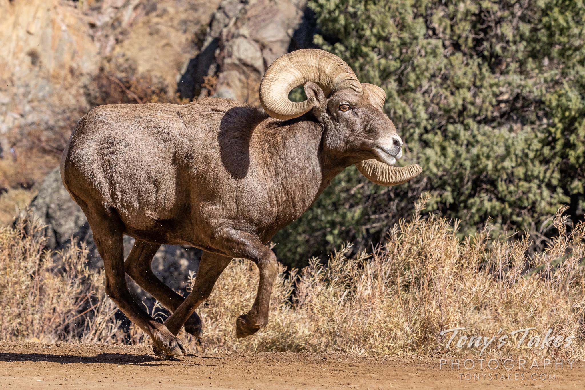 Bighorn ram on the run