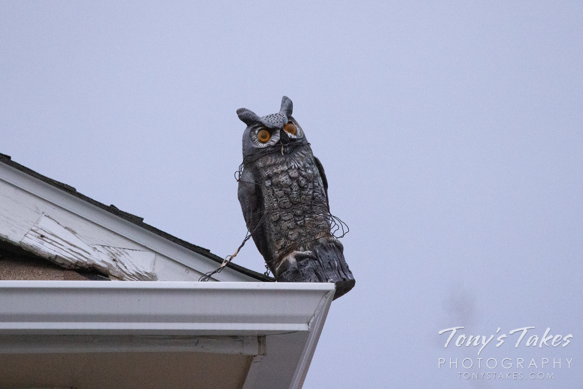 Neighborhood owl finally spotted!
