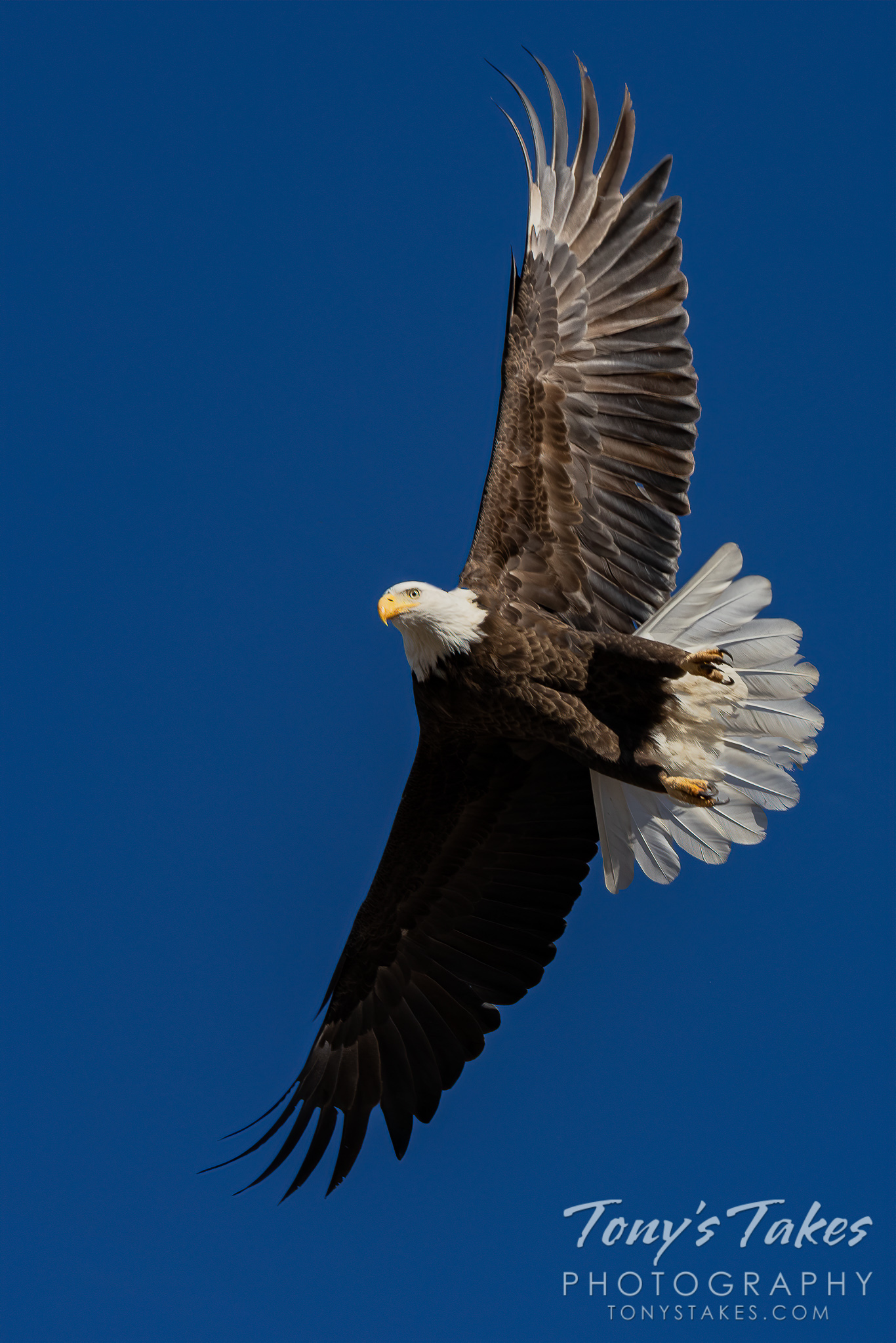 Bald eagle leaps into action against the blue sky