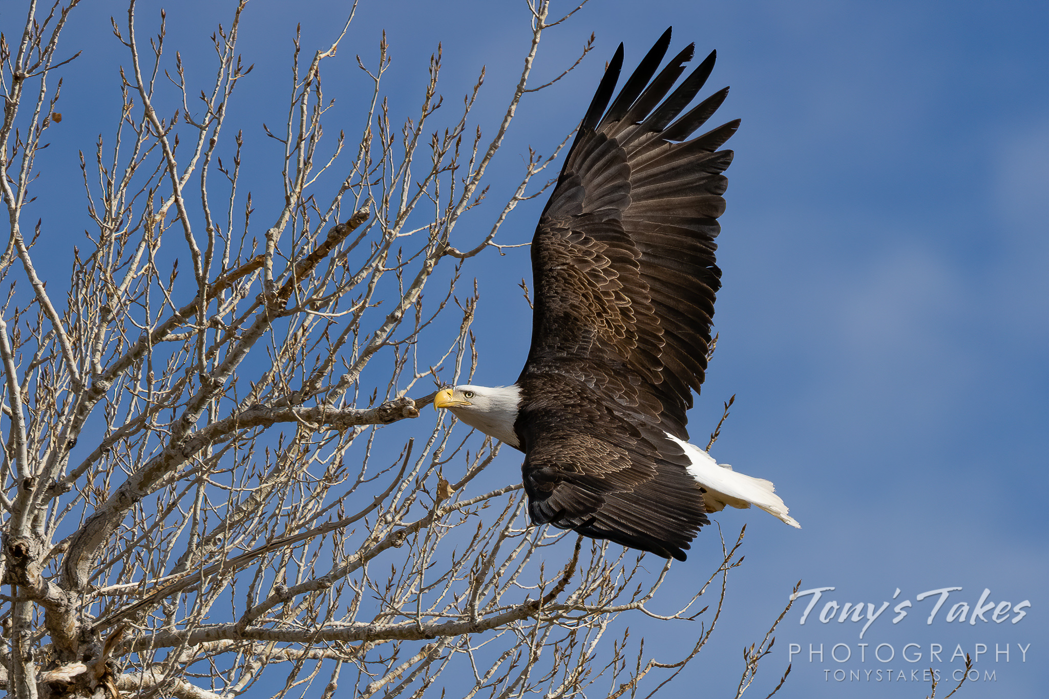 Banking bald eagle for Freedom Friday