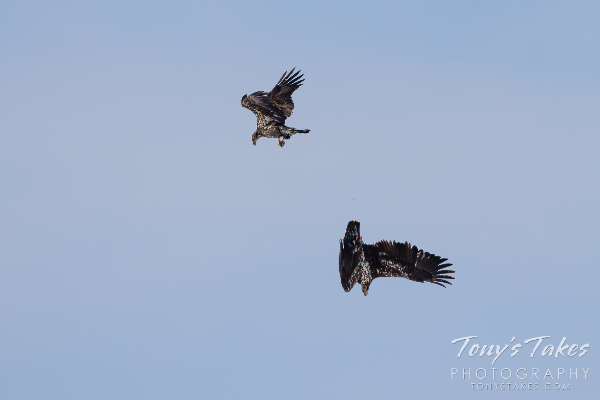 Young bald eagles tangle in the skies over Adams County, Colorado. (© Tony's Takes)