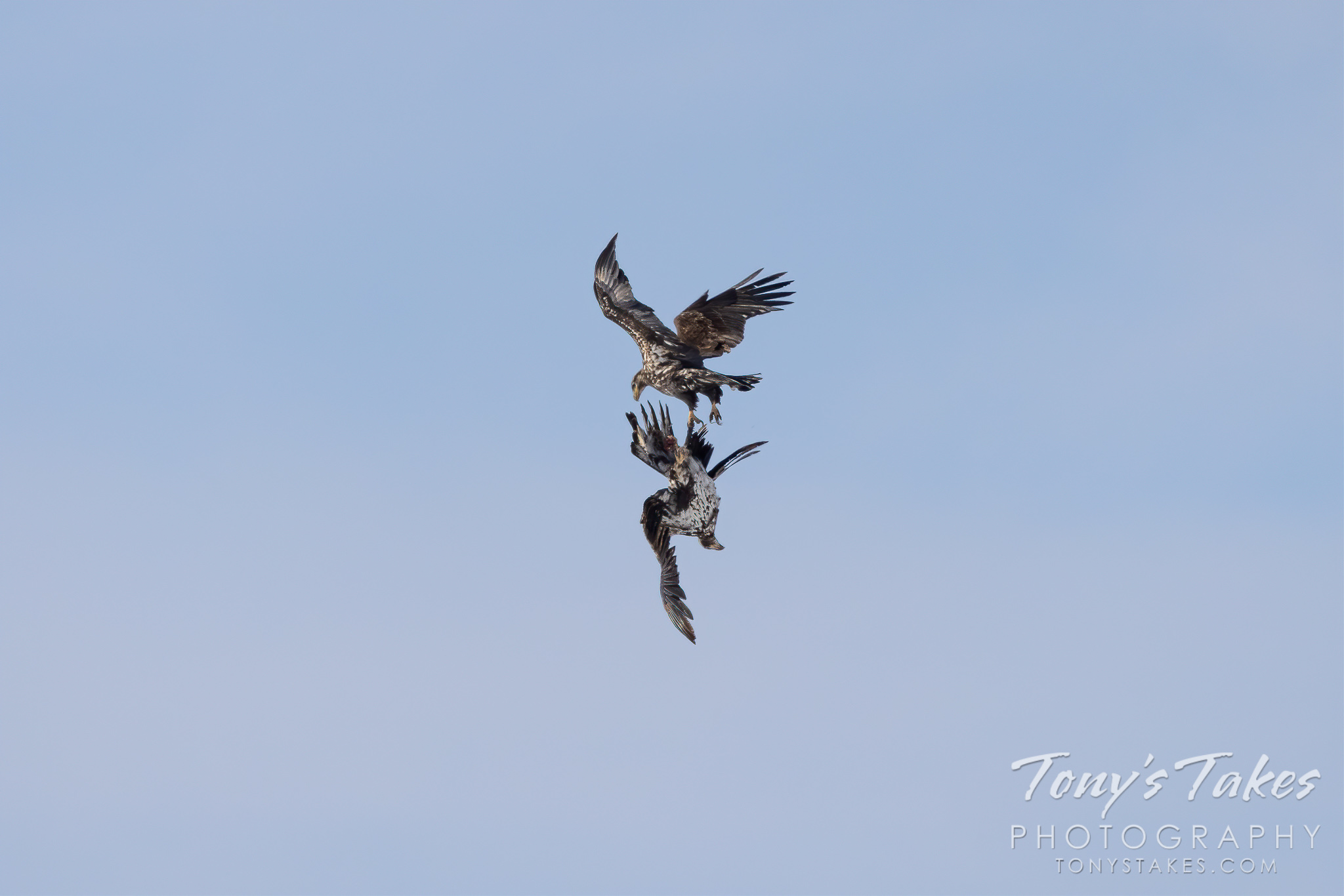 Young bald eagles battle in the sky