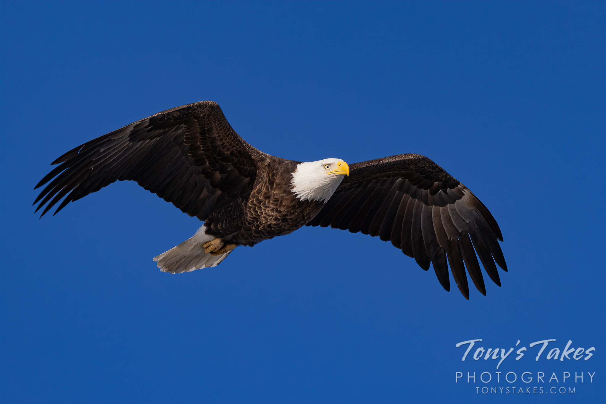 Bald eagle flyby for Independence Day