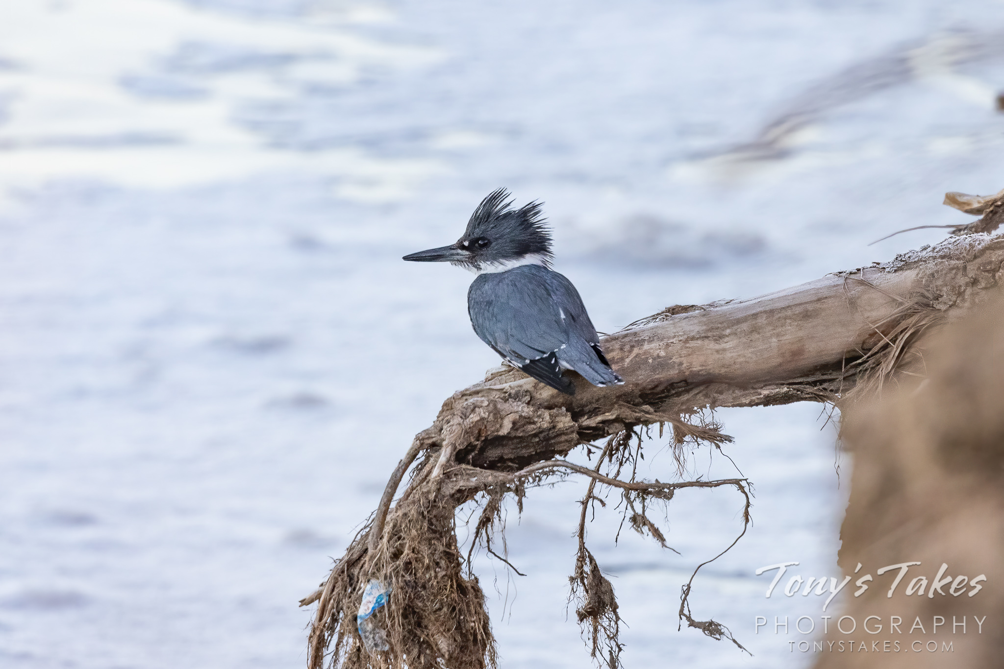 A belted kingfisher hanging out. (Tony's Takes)