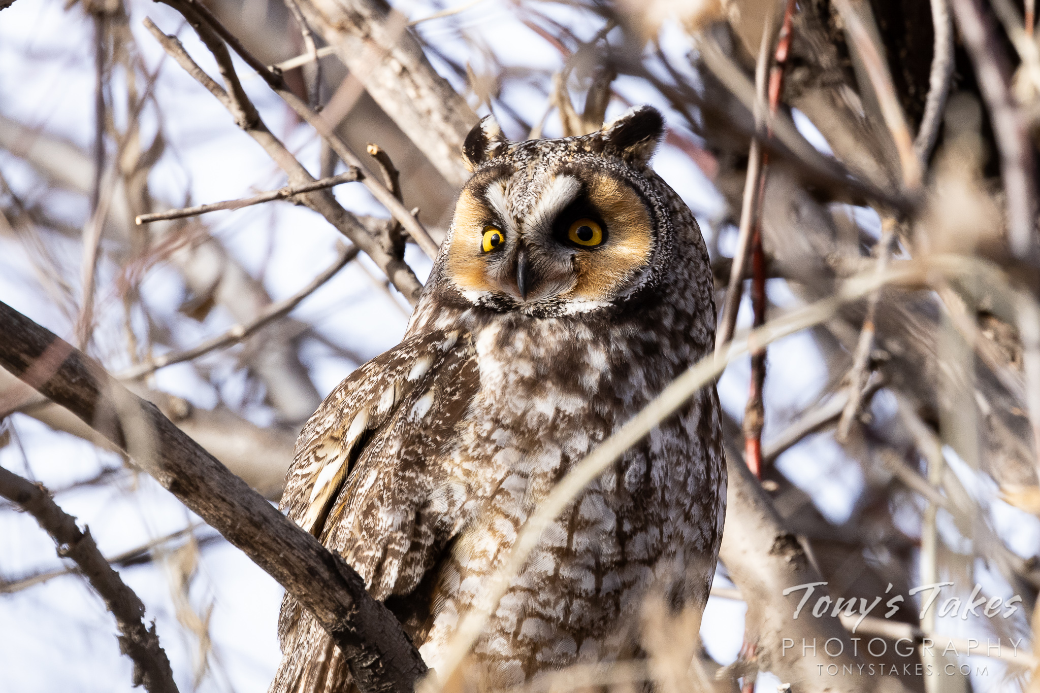 Long eared owl looks to the sun