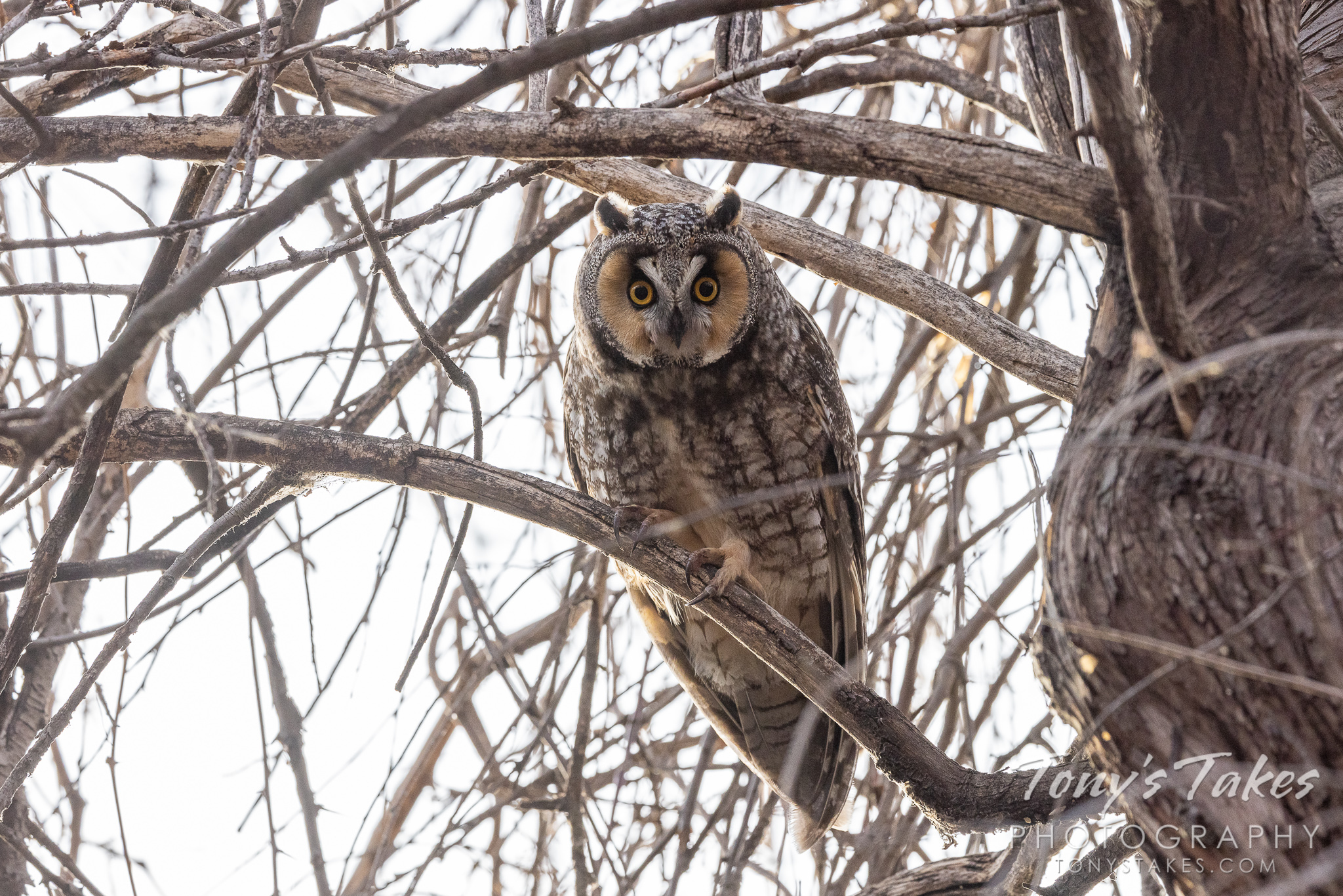 Long-eared owl is all eyes – and talons