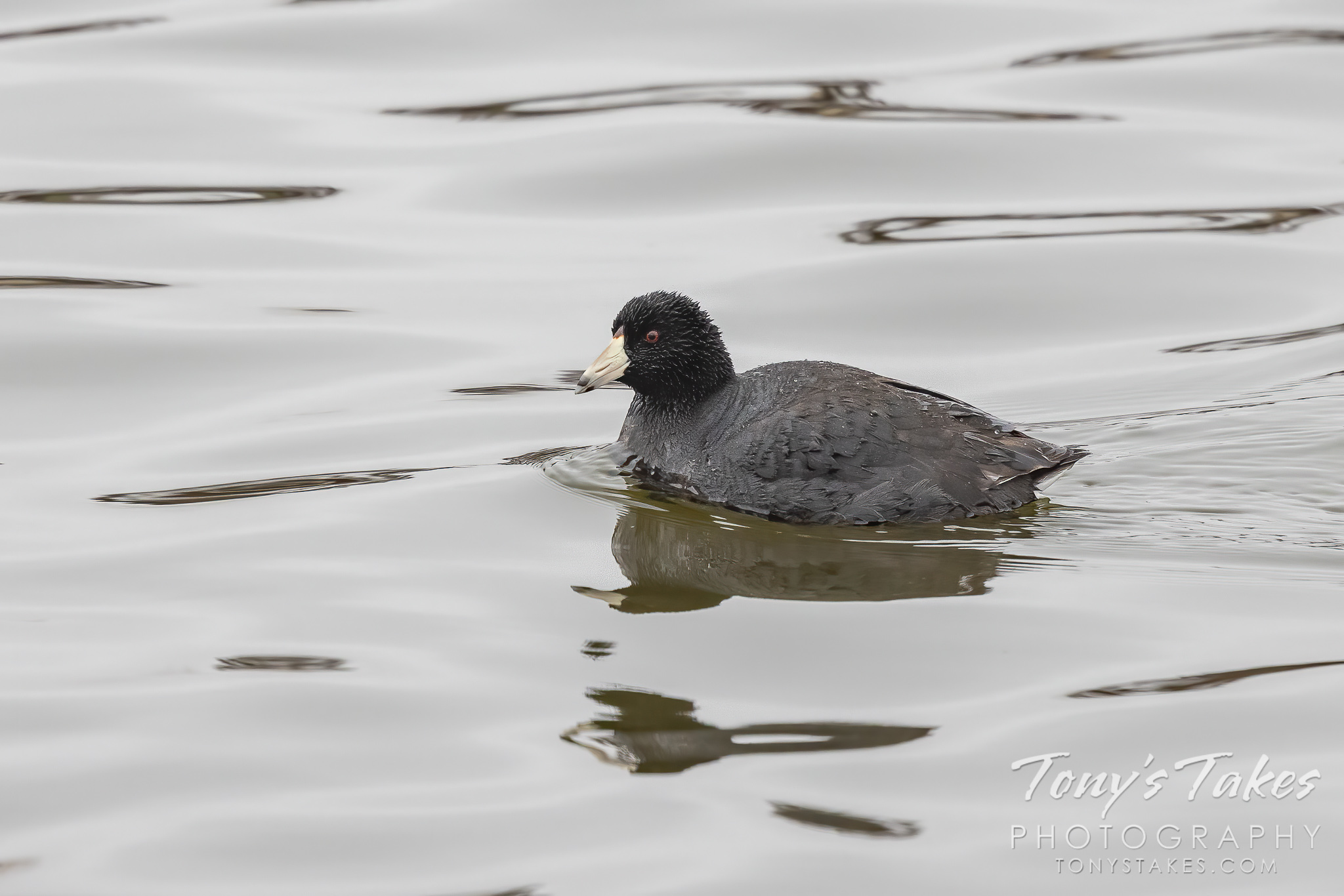 A wet American coot on a pond. (Tony's Takes)