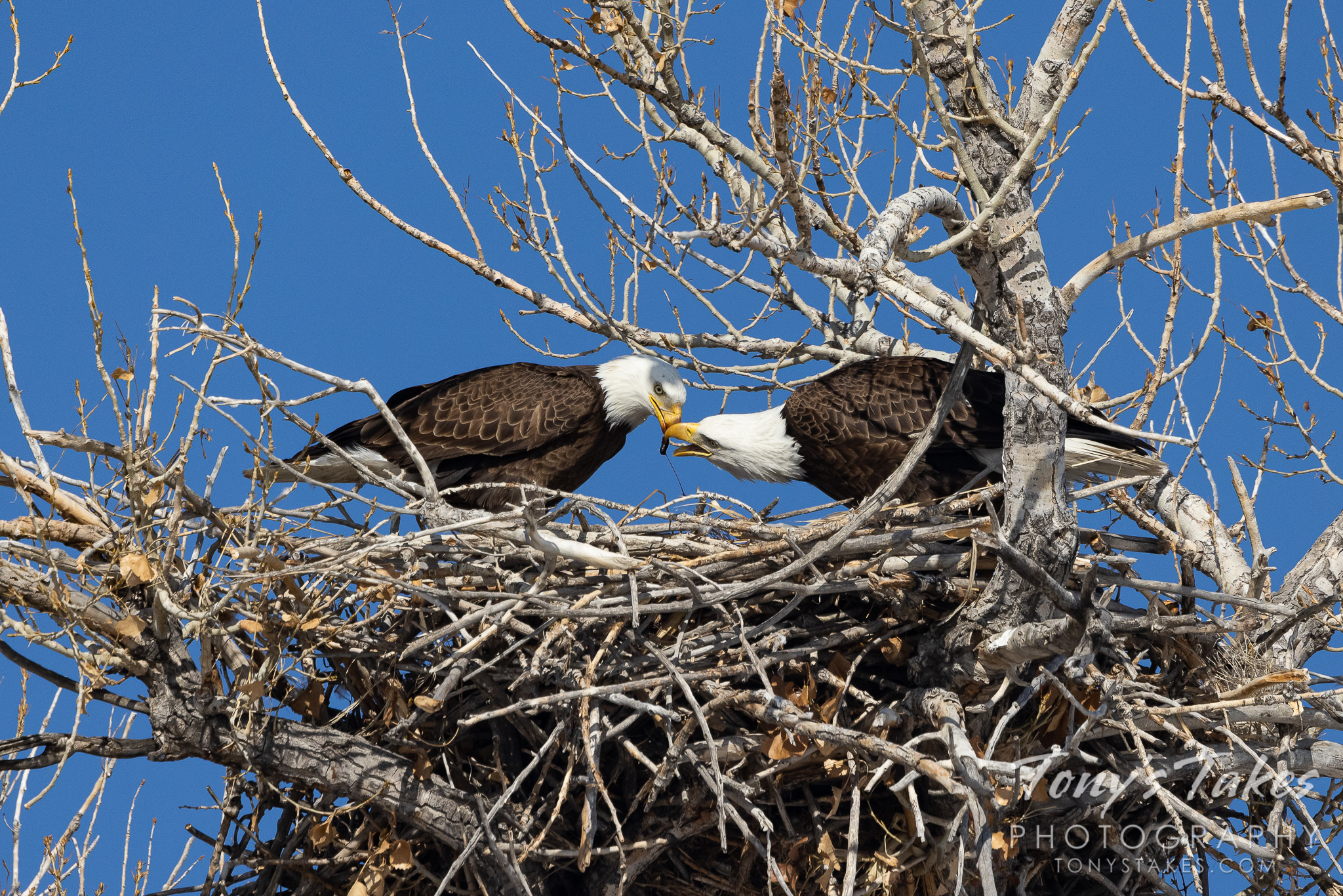 Bald eagle couple shares a fishy breakfast