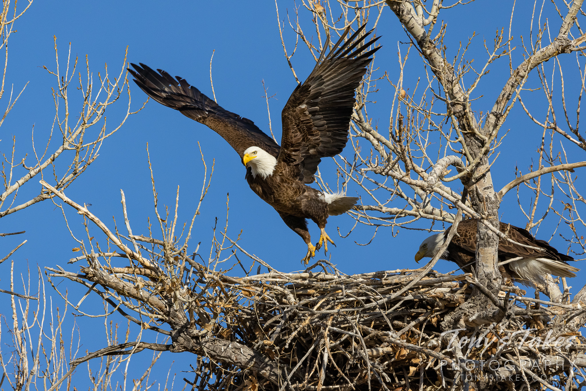 Changing of the guard: Male bald eagle departs the nest as mom takes over the watch