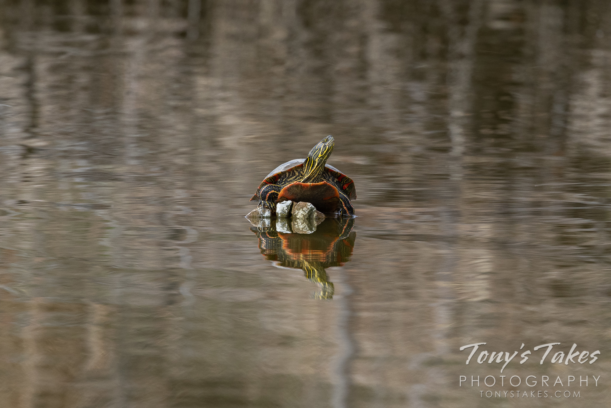 A painted turtle enjoys a warm spring day in Colorado. (Tony's Takes)