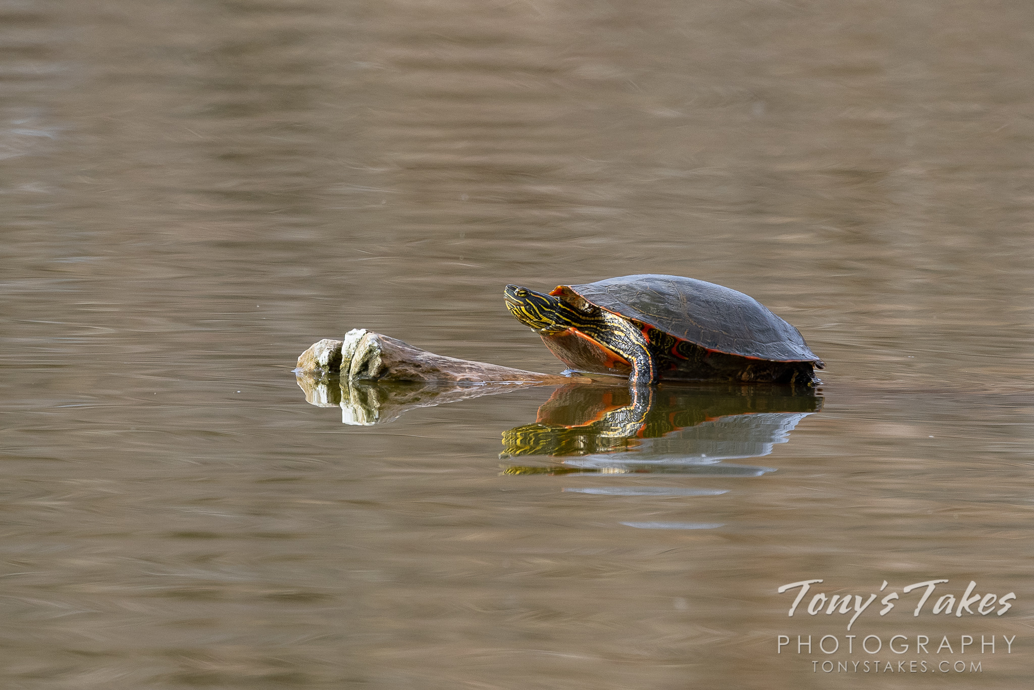 Painted turtle basks on a very warm spring day