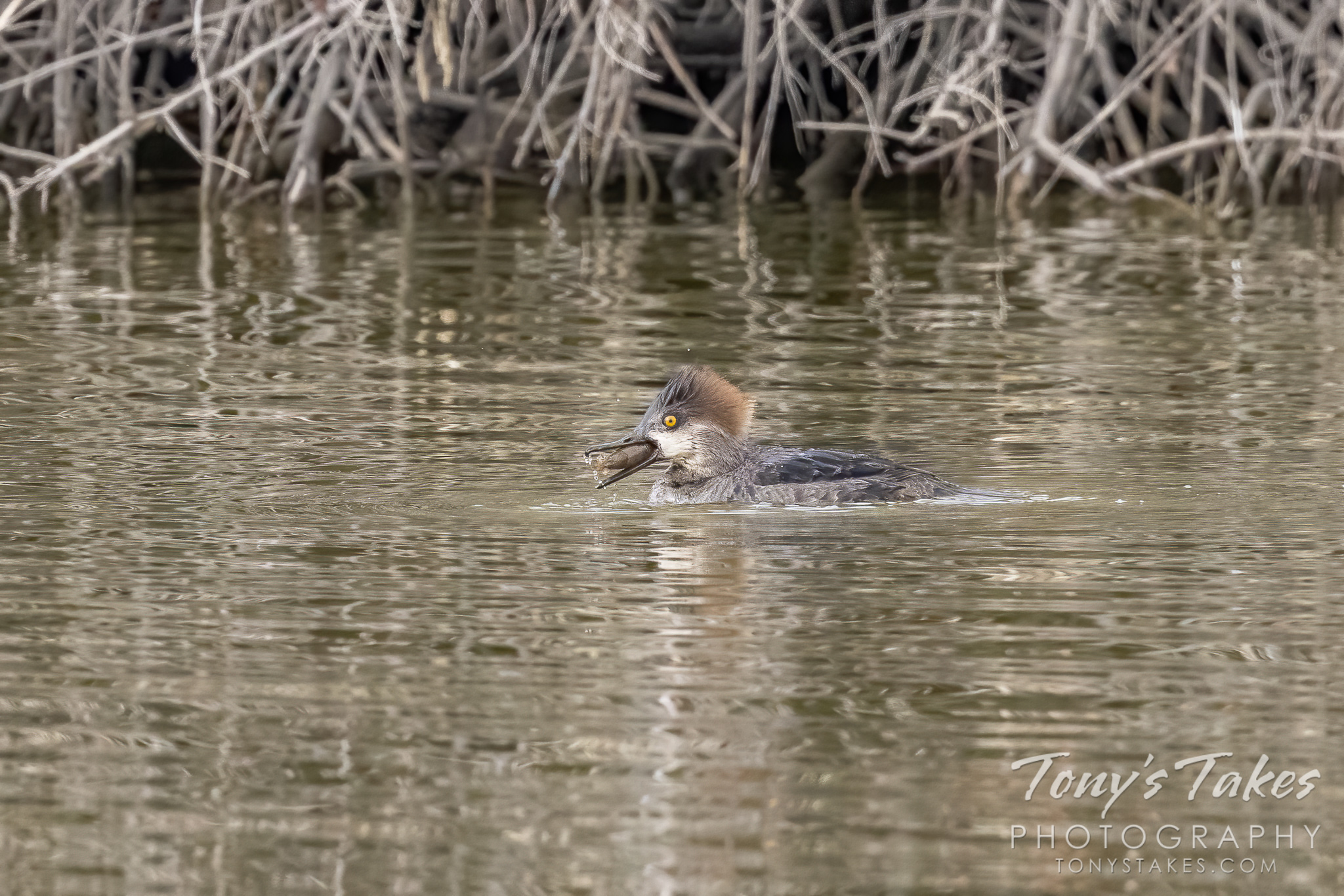A young female hooded merganser catches a crawdad. (© Tony's Takes)