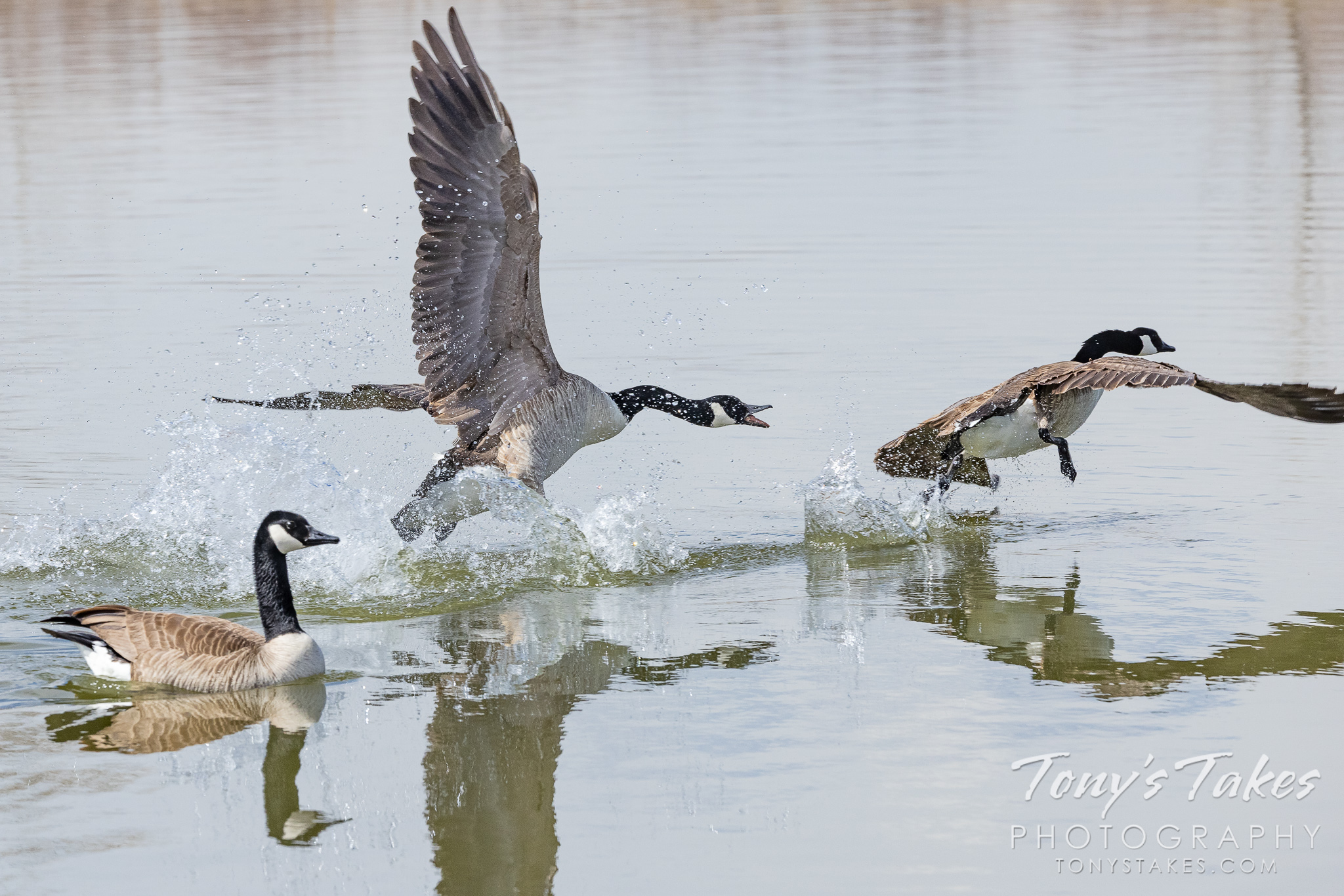 Canada geese fight for territory at Colorado's St Vrain State Park. (© Tony's Takes)