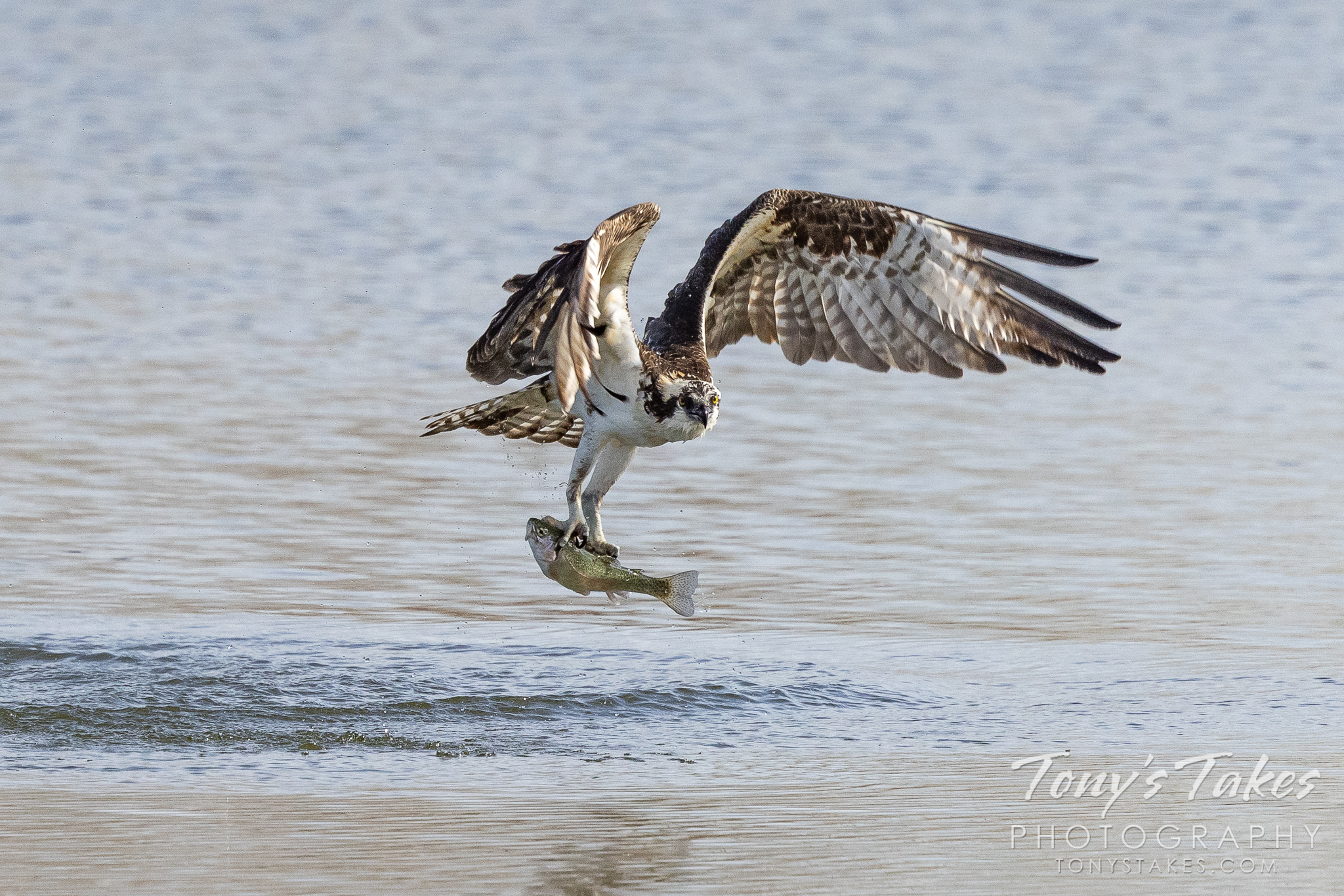 Osprey nabs a trout for breakfast