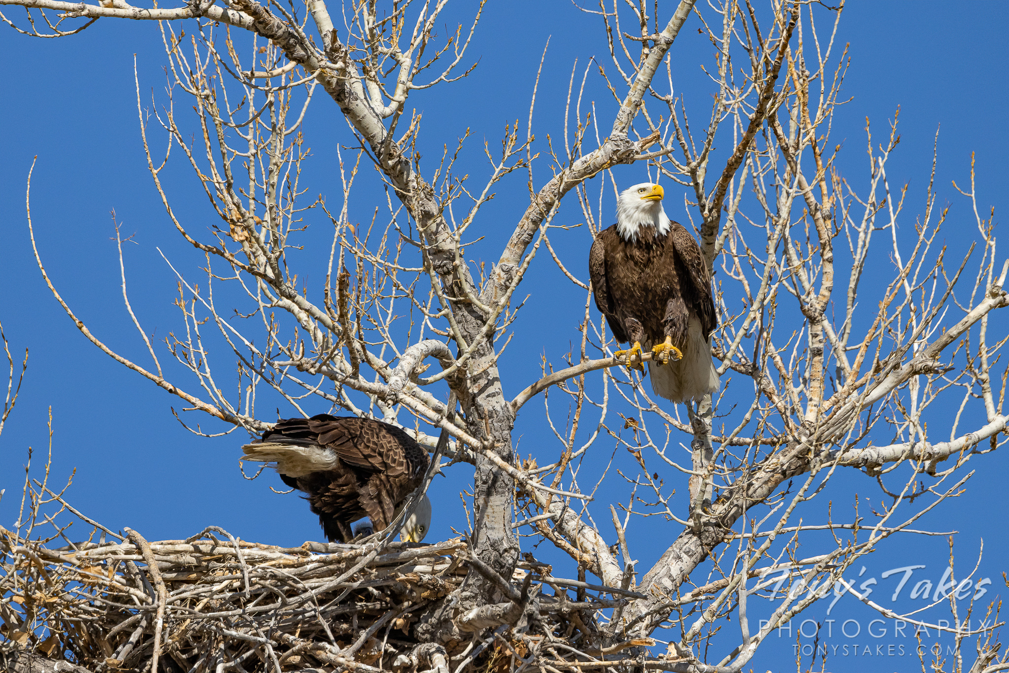 Bald eagle family portrait