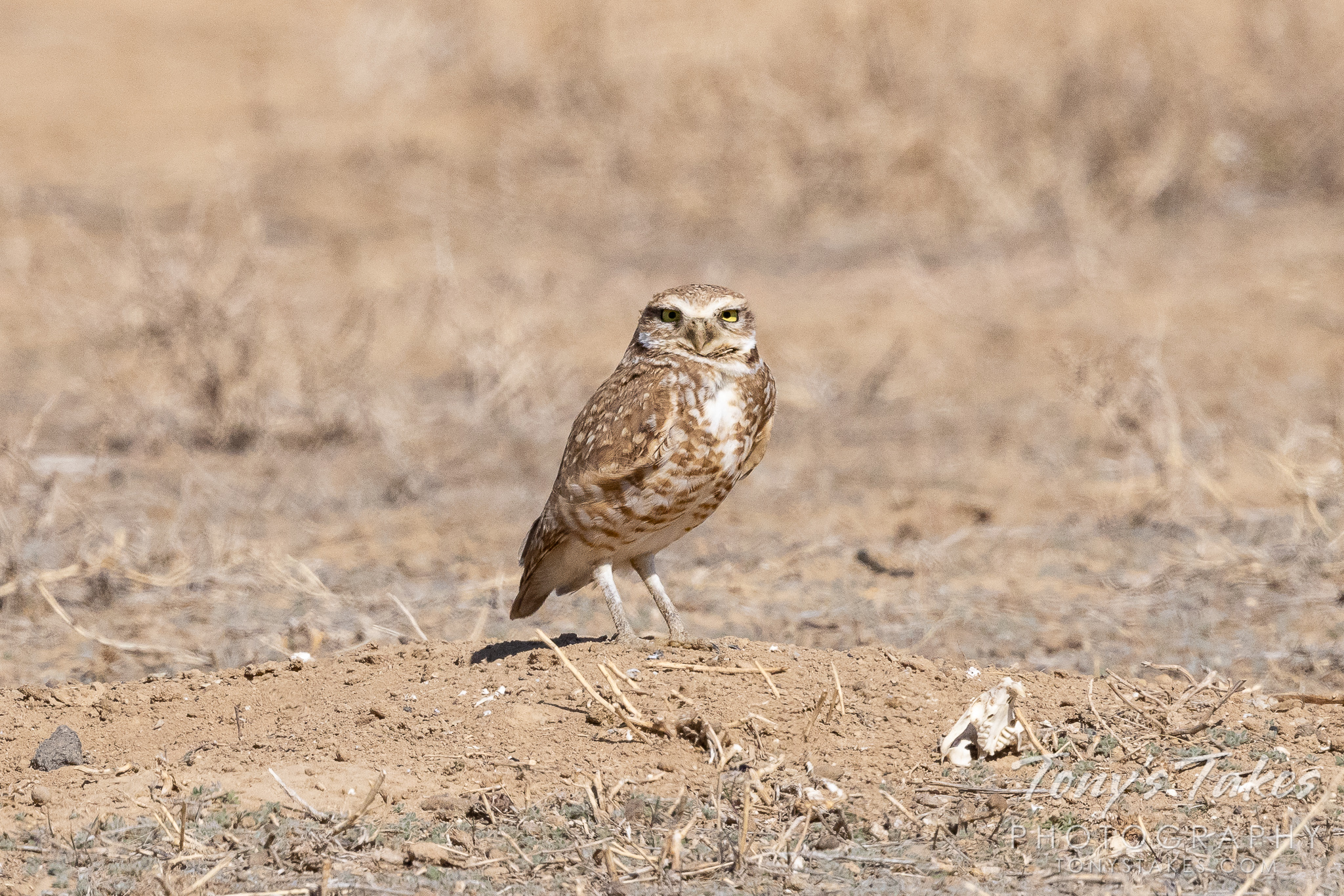 Burrowing owls return to the Great Plains