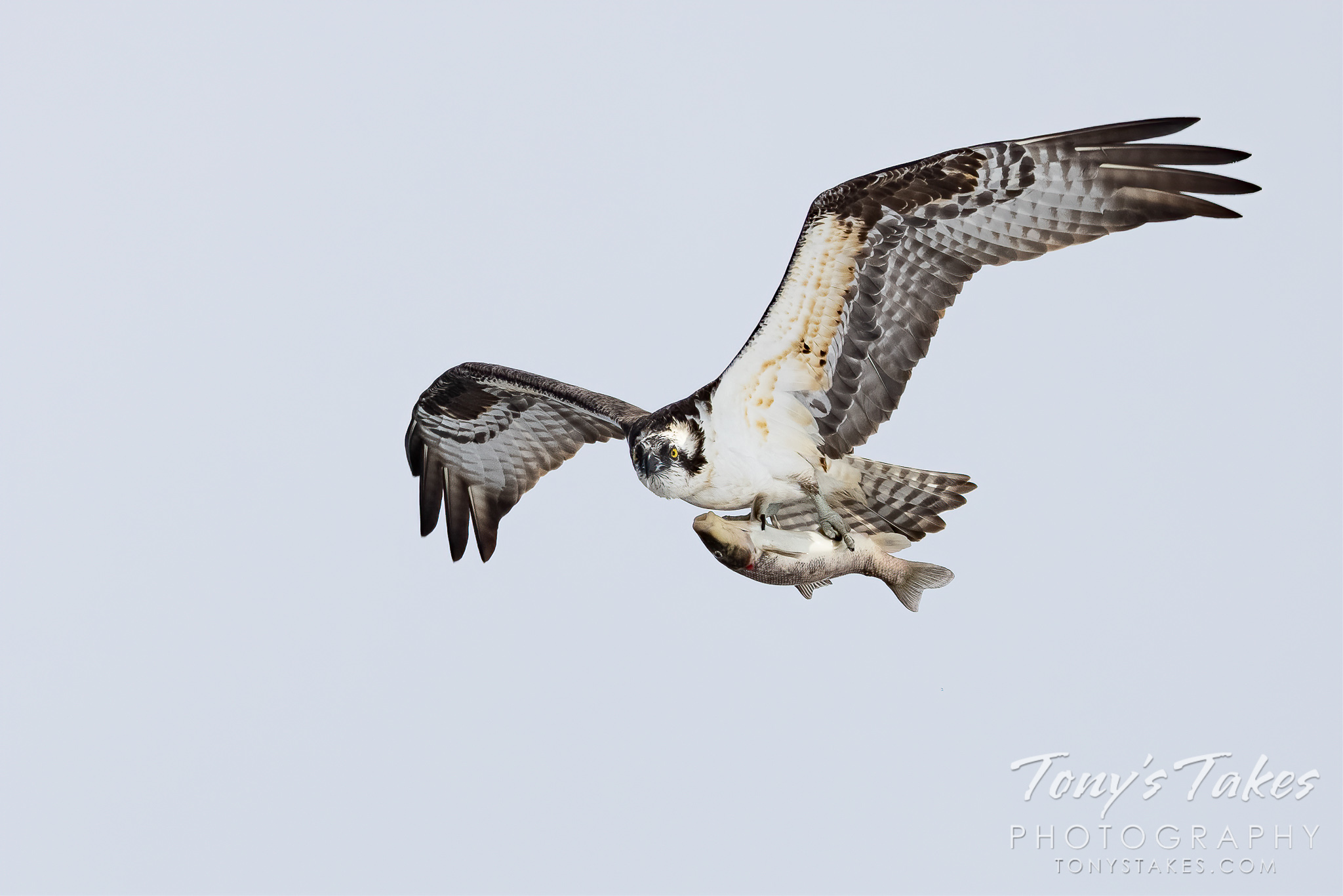Osprey shows off the catch of the day
