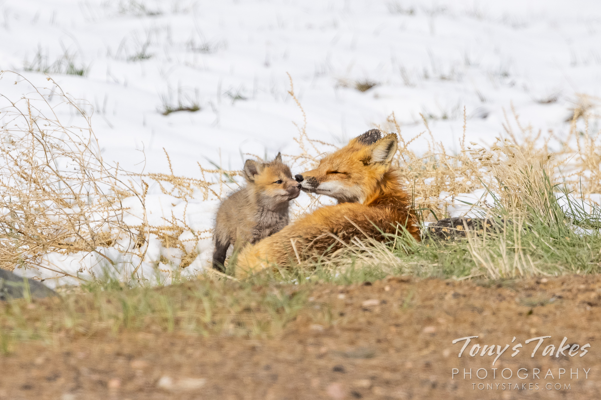 Fox kit and parent enjoy a tender moment after the storm