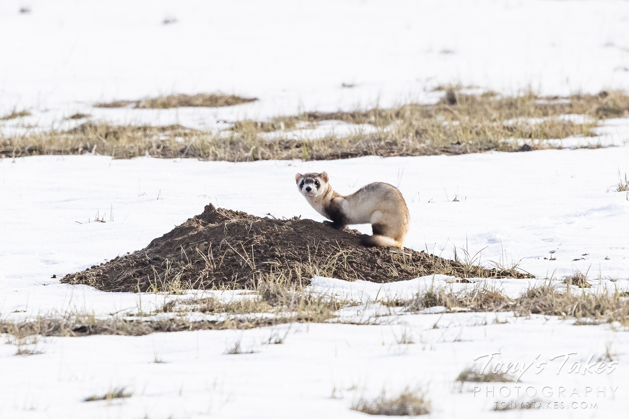 Black-footed ferret keeping watch