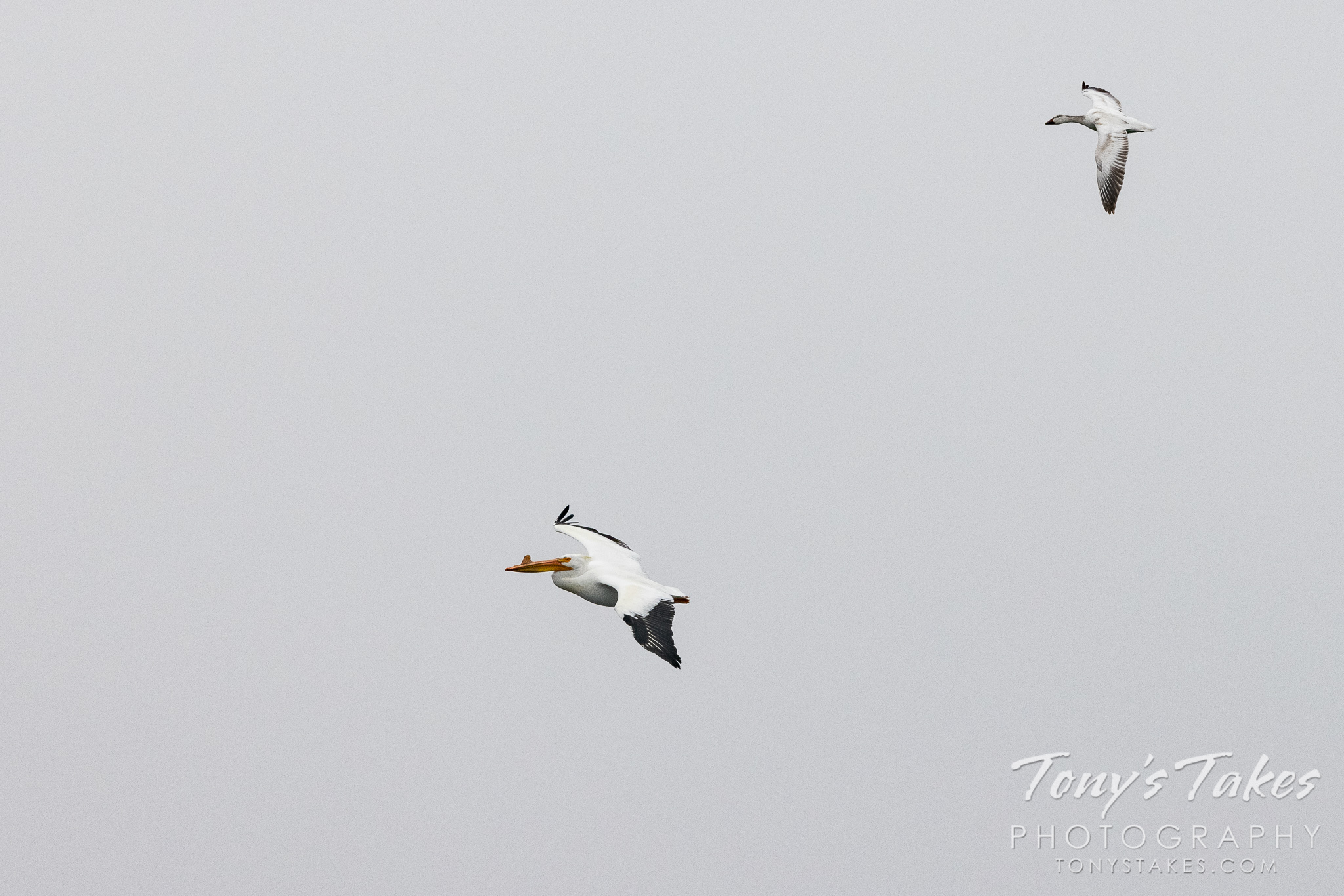 The odd couple – snow goose and pelican hang out