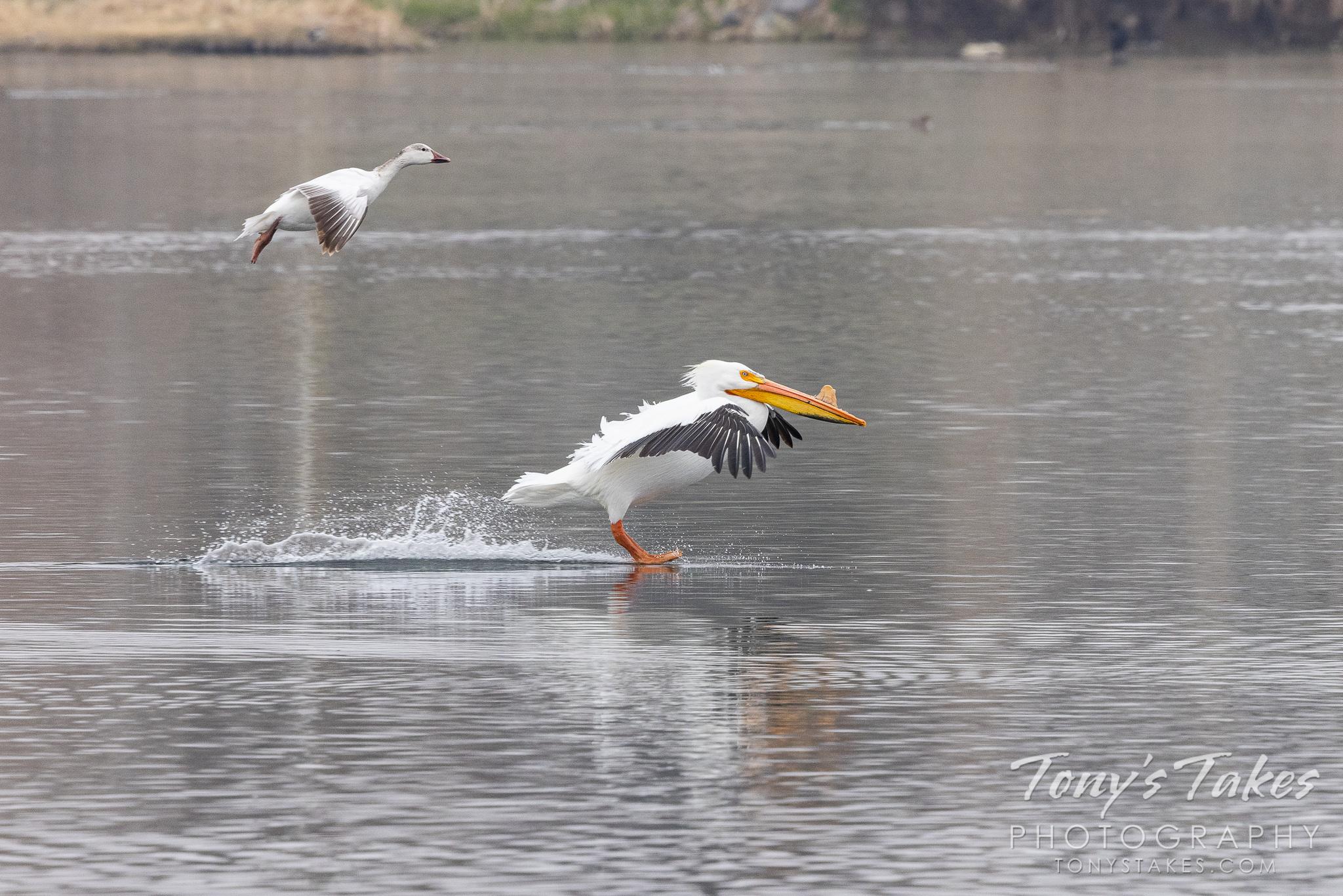 A snow goose follows a pelican to a landing on a pond in Colorado. (© Tony's Takes)