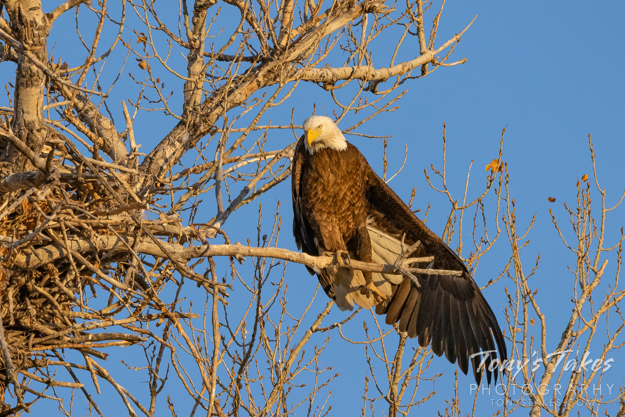 Bald eagle's sunrise stretch