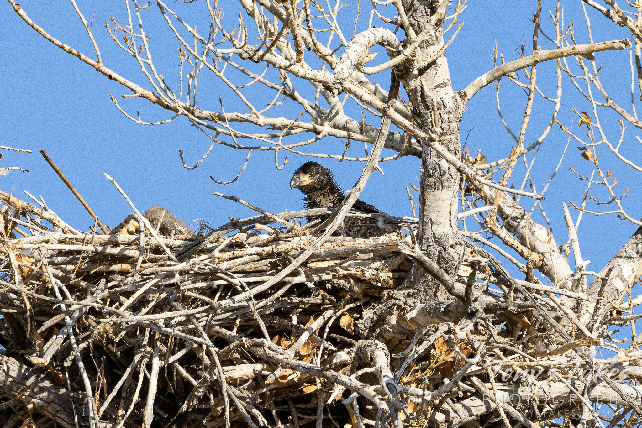 First good look at one of the newest bald eagles on the Colorado Front Range