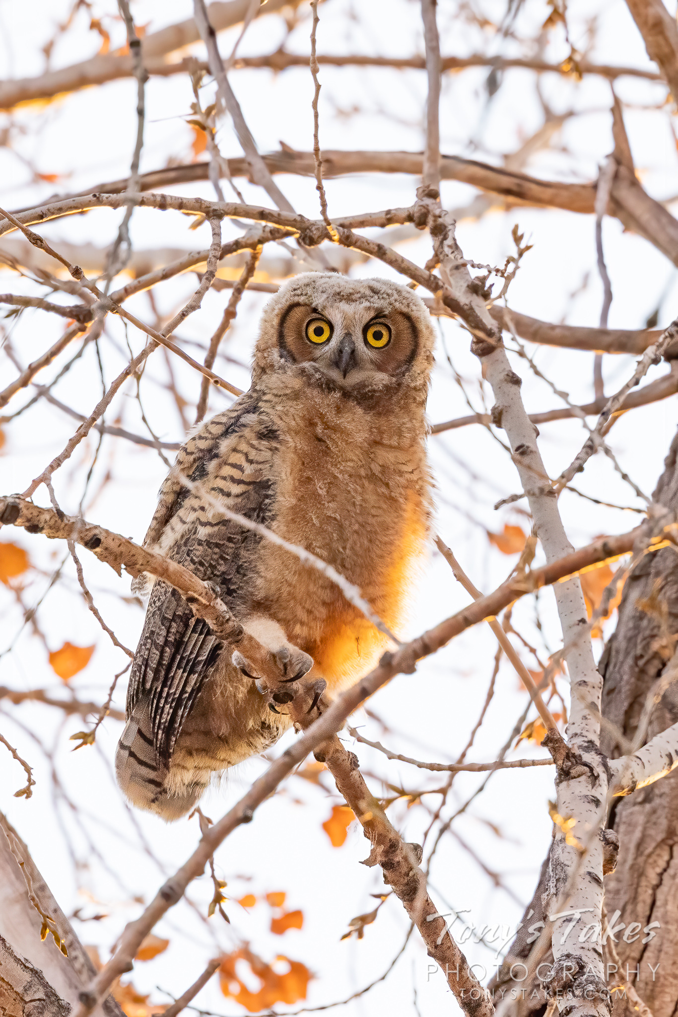 Big-eyed owlet branches out