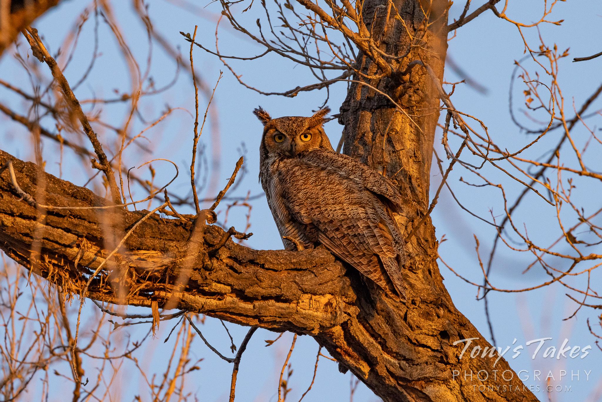 Golden-eyed great horned owl at sunrise