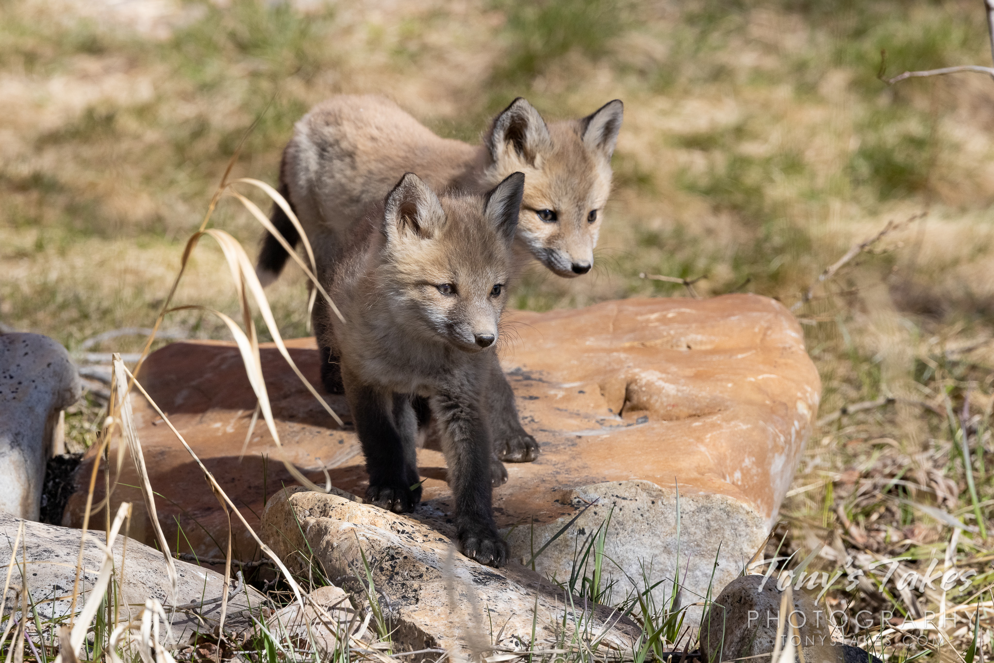Fox kits stake out the high ground