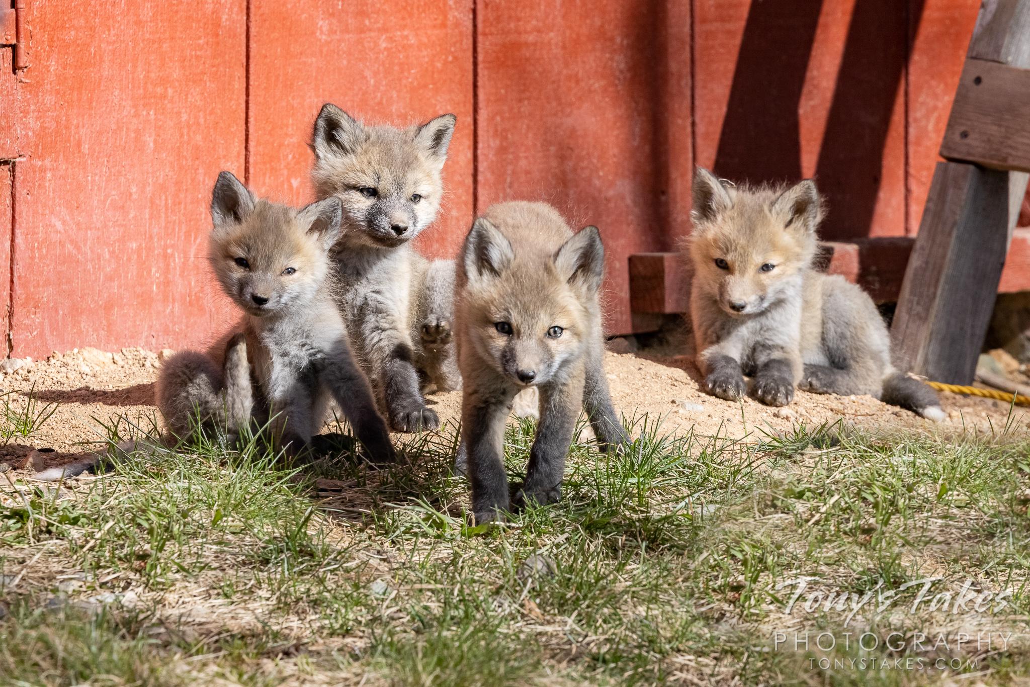 Fox kits make up a quartet of cuteness