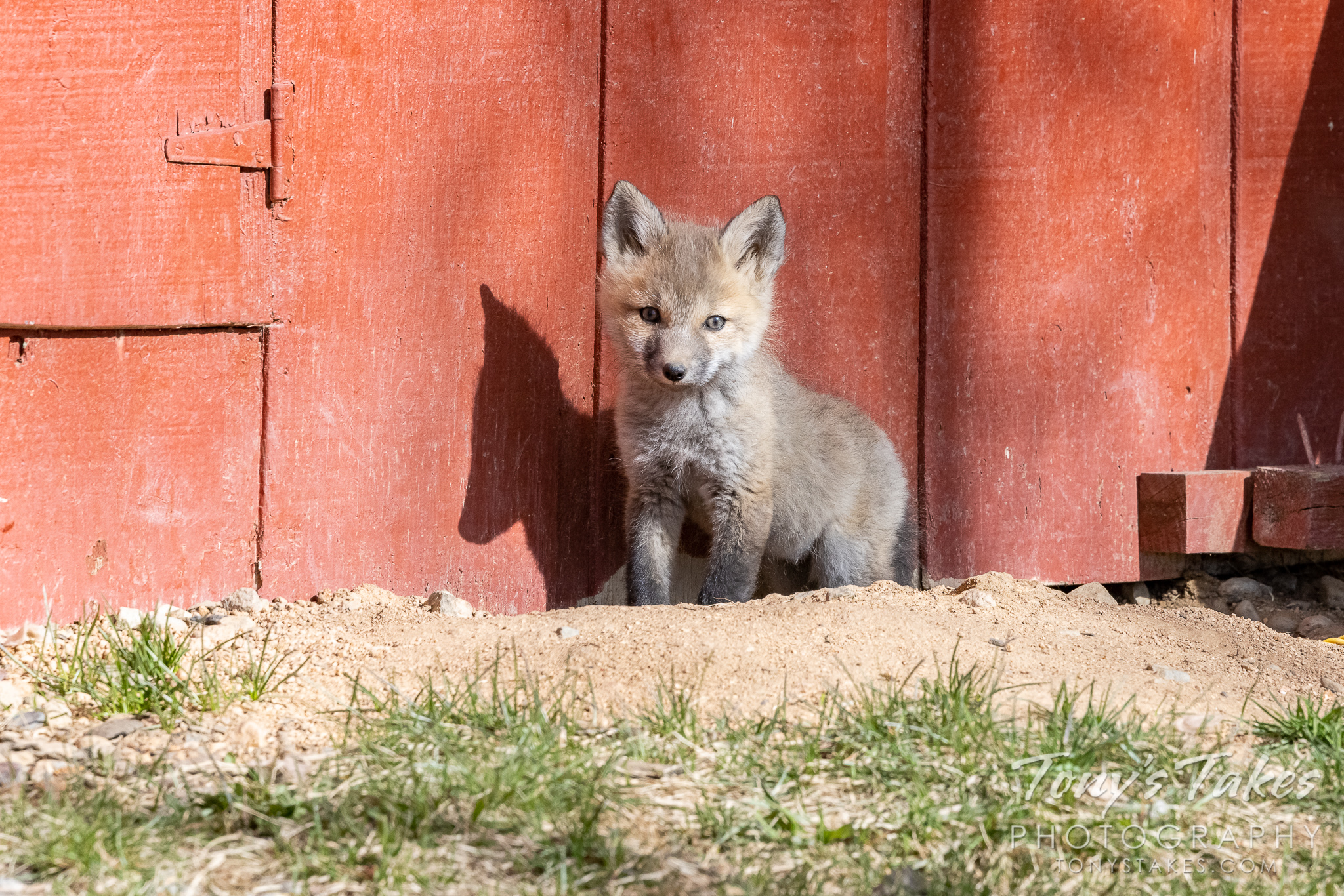 Fox kit makes an appearance with its shadow
