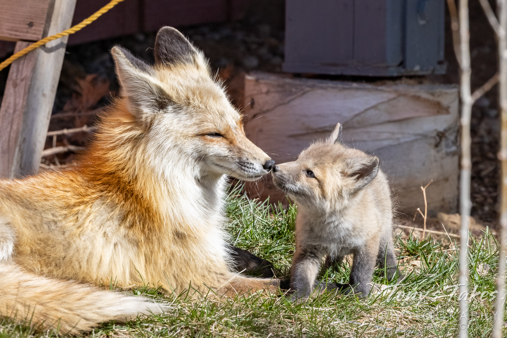 Fox kit and its dad go nose to nose
