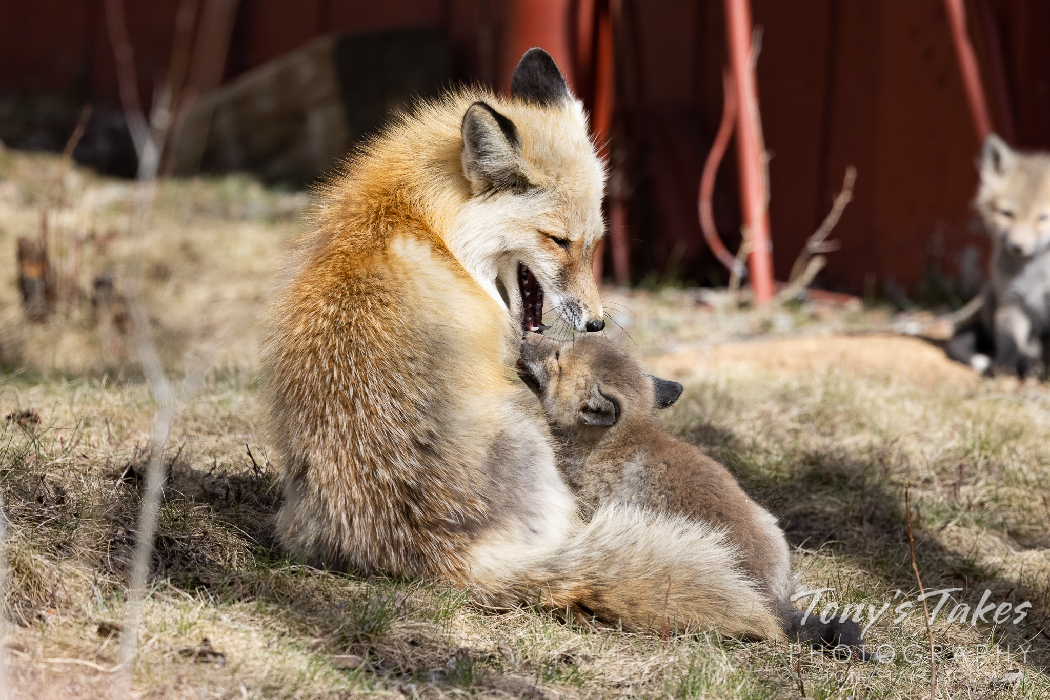 Fox father and kit enjoy a laugh at a dad joke