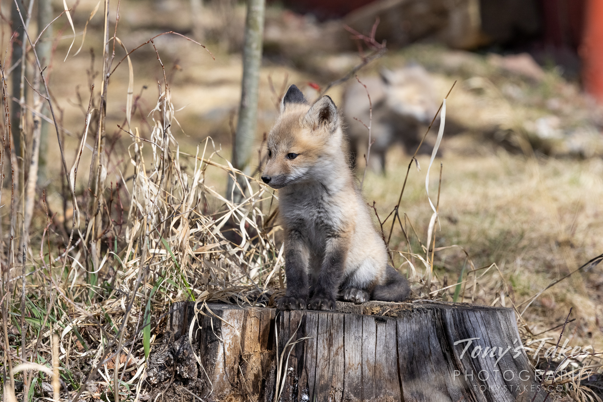 Red fox kit poses for its portrait on a tree stump