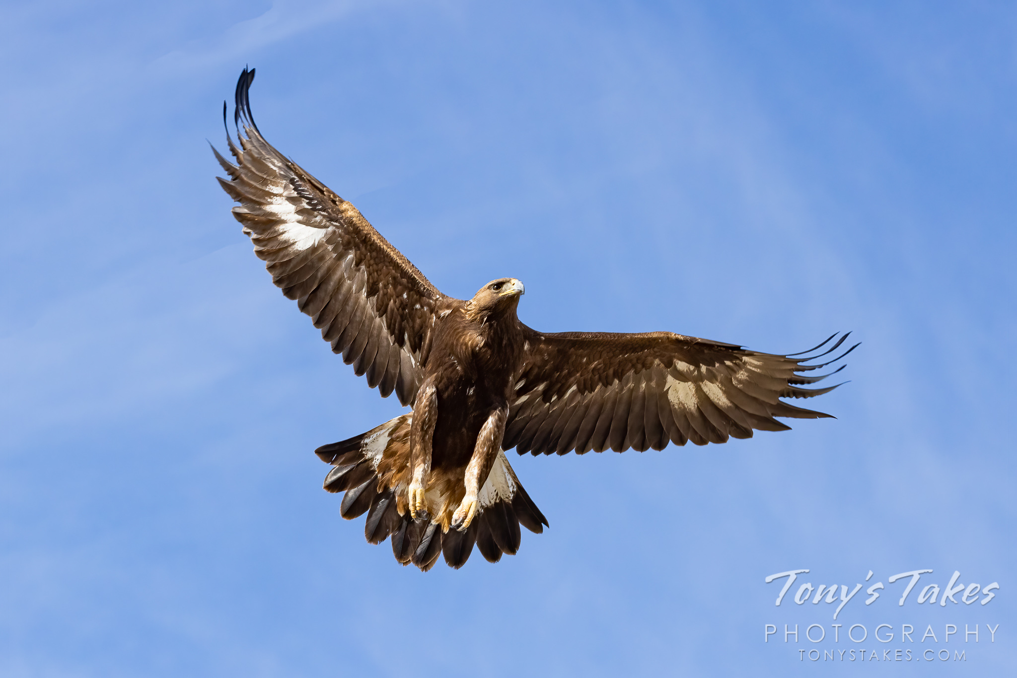 Young golden eagle takes flight for Wings Wednesday