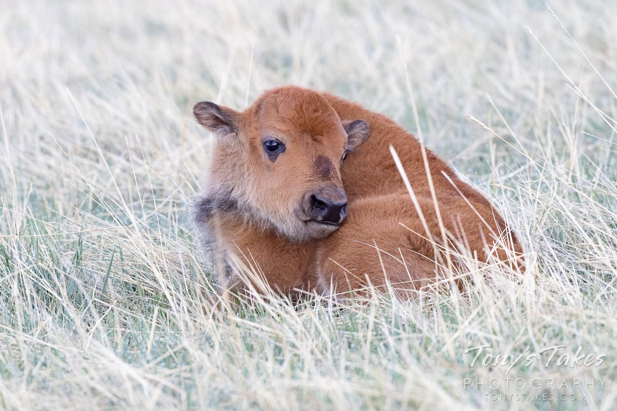 Bison calf takes a break for Tatanka Tuesday