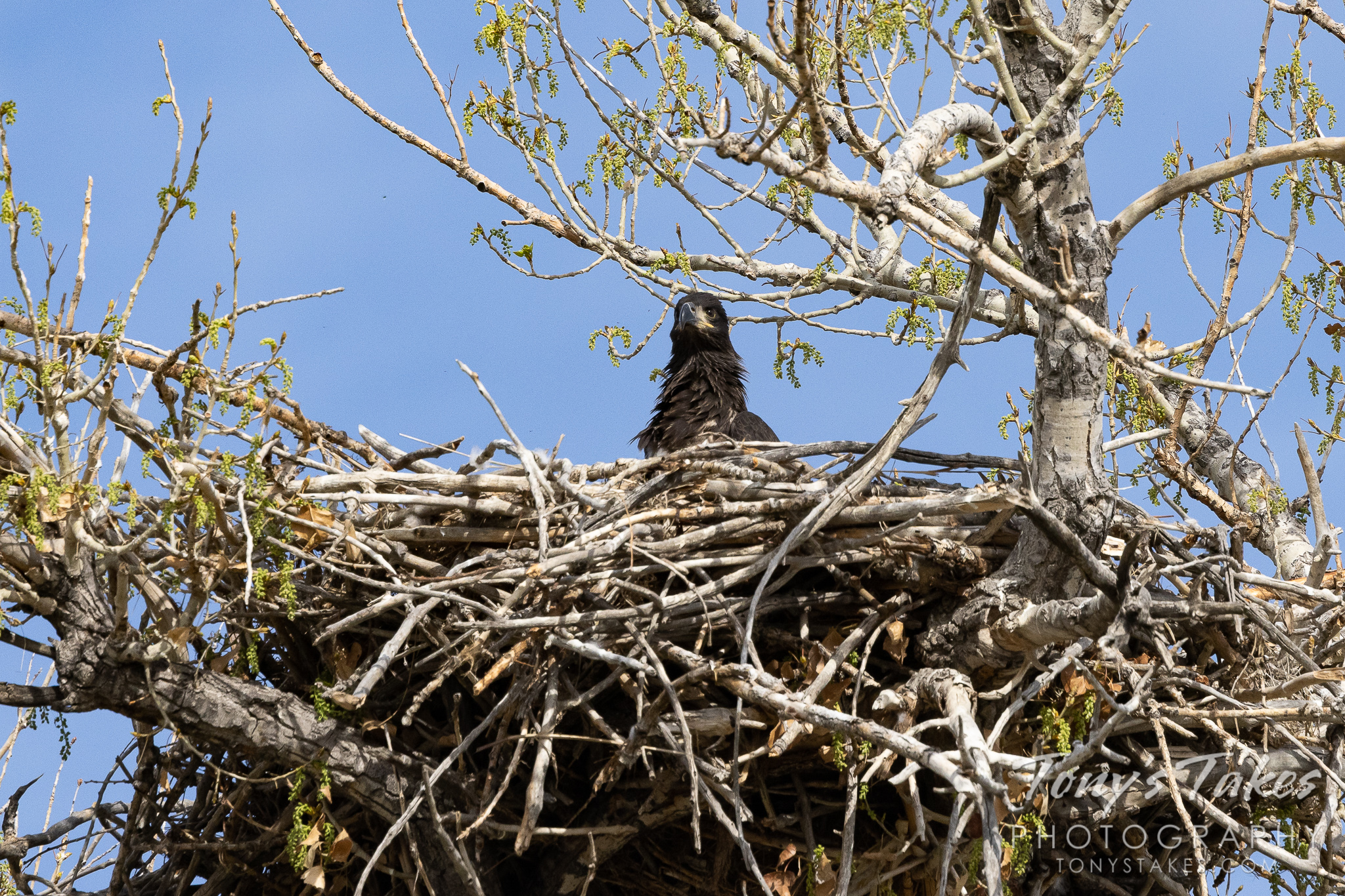 A bald eagle eaglet looks out from its nest. (© Tony's Takes)