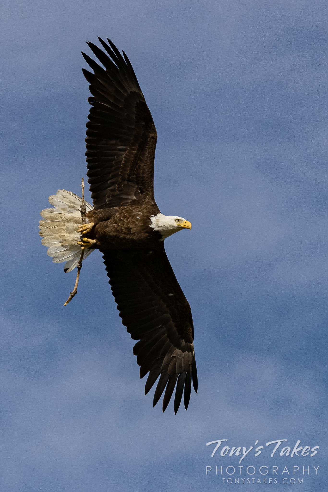 Bald eagle dad works on some minor home repair