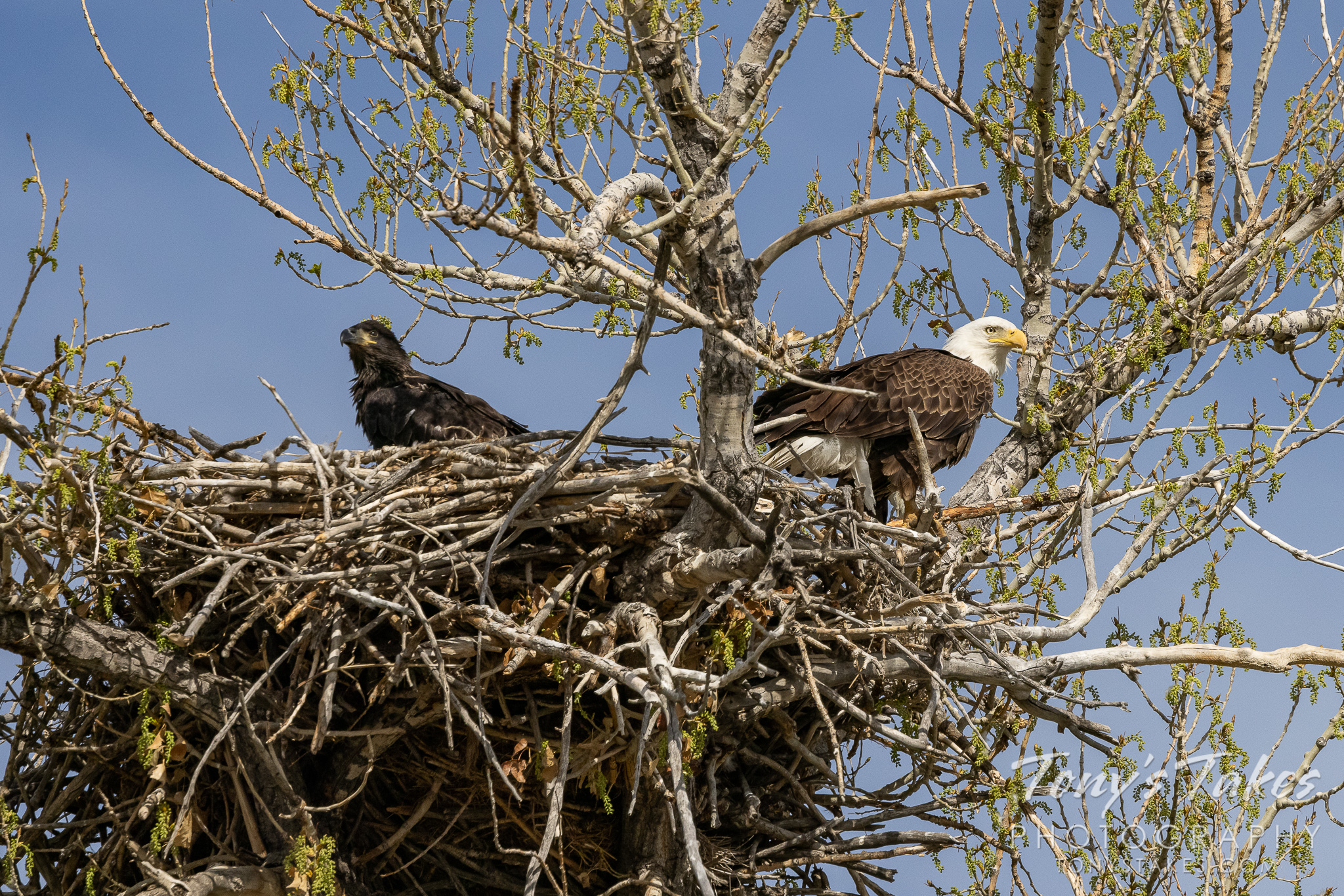 A bald eagle eaglet and its father hang out at their nest. (© Tony's Takes)