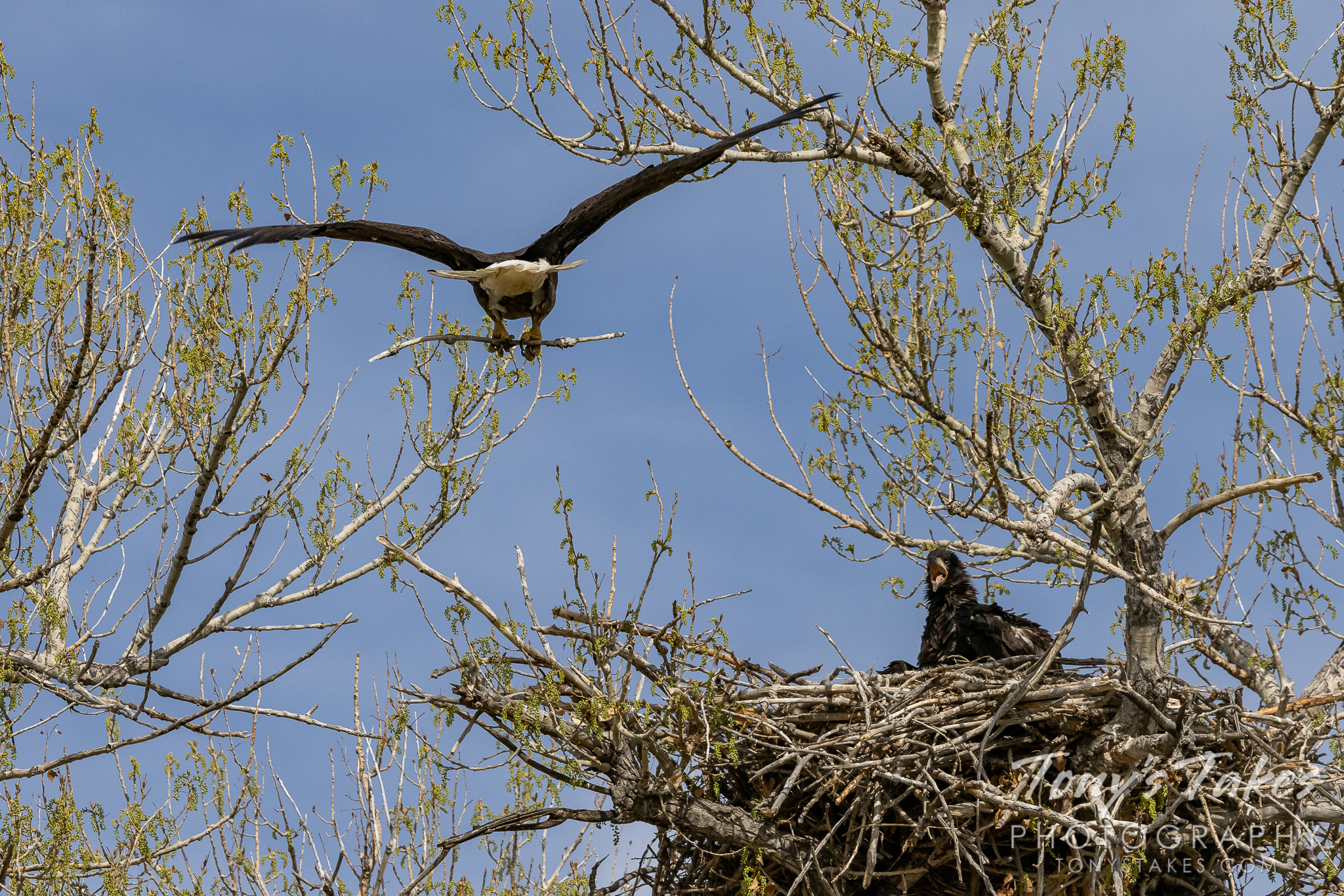 A bald eagle prepares to land with a stick while its eaglet looks on. (© Tony's Takes)