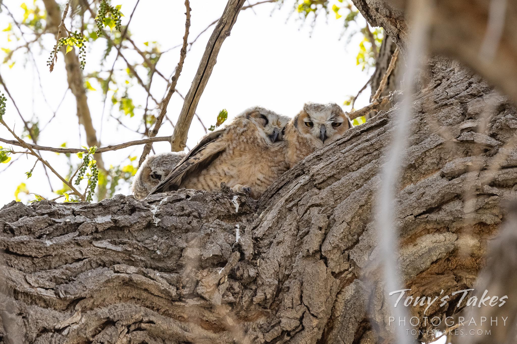 Great horned owl owlet triplets hunker down against the wind